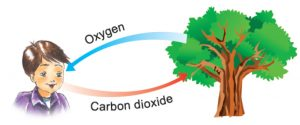 Corbon dioxide Oxygen Cycle